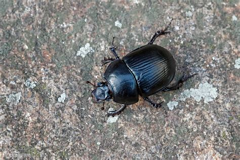 Dung Beetle Photos, Dung Beetle Images, Nature Wildlife ...