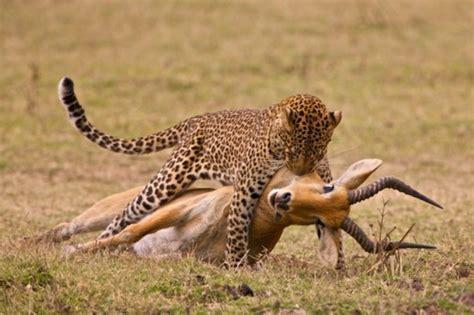 magazine gazelle cuisine predator prey relationships kruger national park