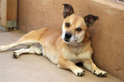 Pembroke Welsh Corgi-shiba Inu Mix Dog For