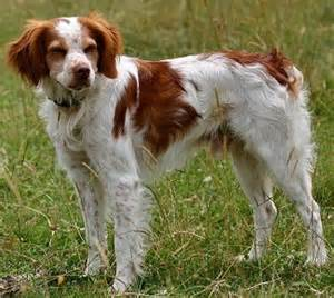 brittany spaniel dog picture dog breeds picture