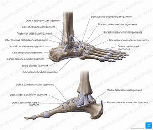 Diagram    Pictures  Ligaments Of The Foot  Anatomy