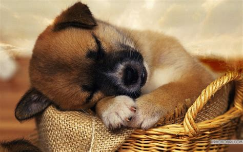 tired puppy sleeping cute wallpapers  wallpapers