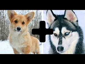 10 Amazing Cross Dog Breeds - Mixed Dogs - YouTube