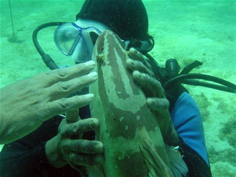 abacos grouper soulofamerica diving swims fear humans