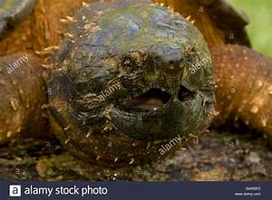 Alligator Snapping Turtle (Macroclemys temmincki ...
