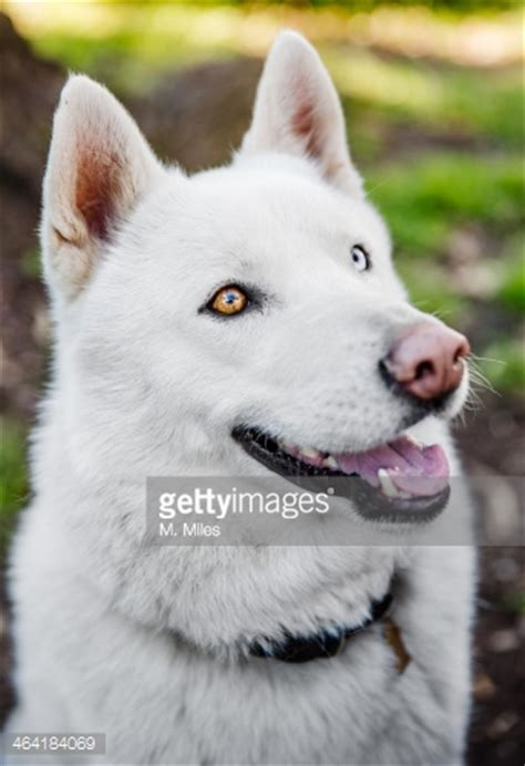 beautiful white siberian husky dog pictures  images