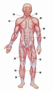 The Muscular System No Labels