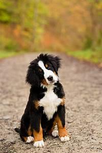 cute amazing bernese mountain dog