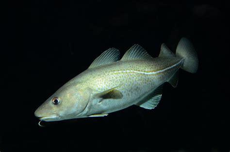 Atlantic cod (Gadus morhua) Biopix photo/image 115809