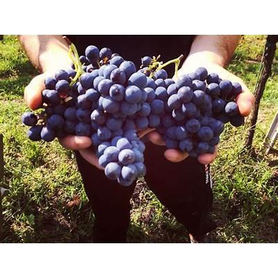 I SelvaticiGrape Harvest 2016