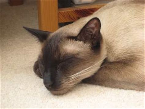 siamese cat adoption siamese cat rescue centers with siamese cats