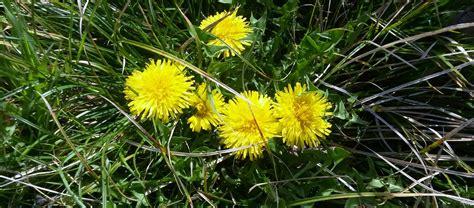 tarassaco fiore 187 il fiore giallo tarassaco villa cheti