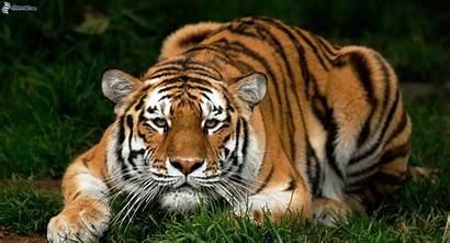 Tigre Tiger Crouching Orange Nature Siberian