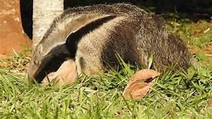 Giant anteater, eating ants, Myrmecophaga tridactyla ...