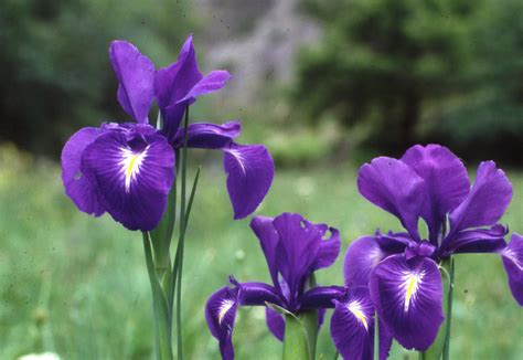 how to care for irises how to care for irises 28 images iris species and how to care for them exotism all over