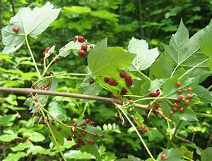 Wucherungen An Pflanzen : gallen ein interessanten biologisches ph nomen ~ Buech-reservation.com Haus und Dekorationen