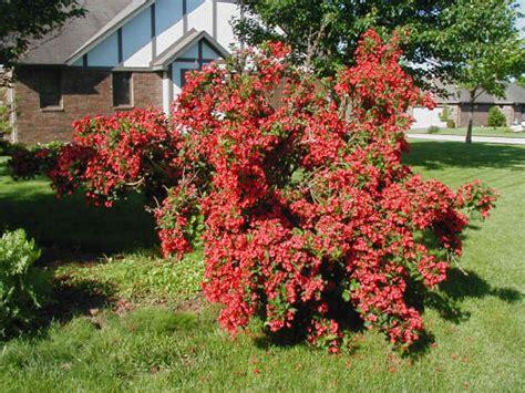 fashioned flowering shrubs old fashioned weigela