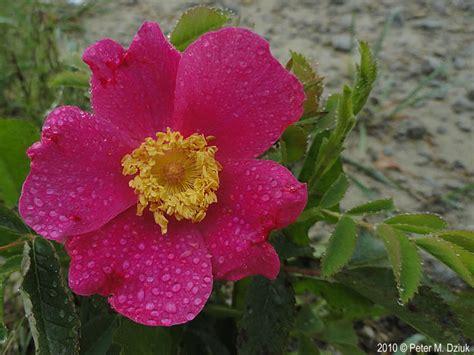 rosa arkansana prairie rose minnesota wildflowers