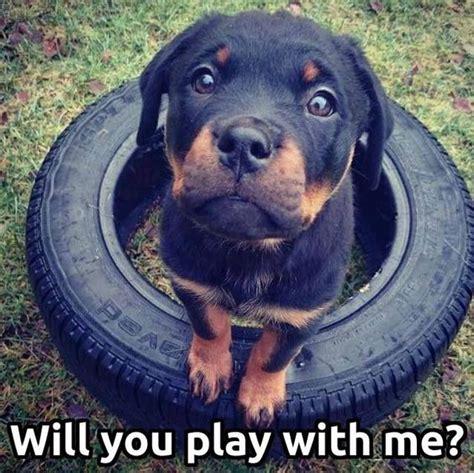 Rottweiler Memes - 10 best rottweiler memes of all time