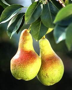 Pear tree - pruning, care and diseases of fruit and ...  Pear