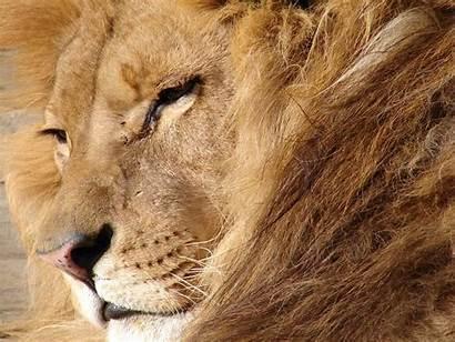 Lions Lion Wallpapers Children Kindly Artwork Mammals