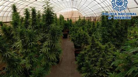 Desmantelan la cuarta plantación de marihuana en ...