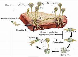 What Is The Life Cycle Of Rhizopus - Biology