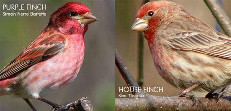 identifying red finches 187 watching backyard birds com