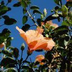 entretien des hibiscus exterieur althea plantation taille et conseils d entretien