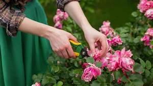 Rosen Schneiden Zeitpunkt : rosen richtig zur ckschneiden auf die sorte kommt es an ~ Frokenaadalensverden.com Haus und Dekorationen