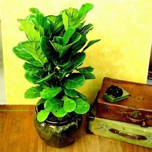 Zimmerpflanze Große Blätter : die besten 17 ideen zu pflegeleichte zimmerpflanzen auf ~ Lizthompson.info Haus und Dekorationen