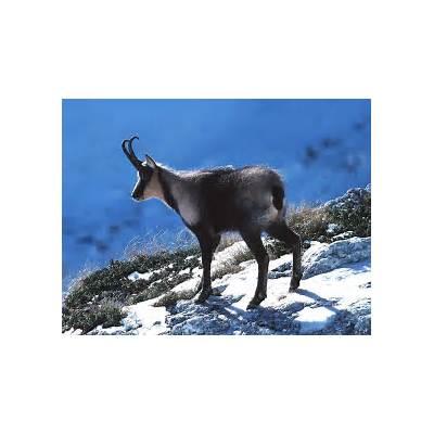 ChamoisInformation and PhotosThe Wildlife