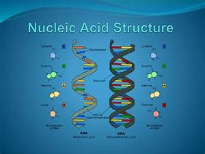 Nucleic Acid    Protein Structure  U0026 Functions