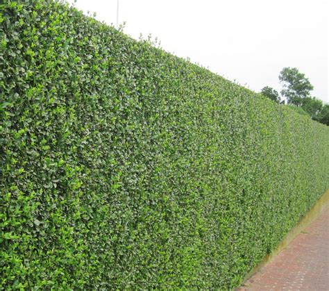 trees for privacy good trees for privacy screen interesting ideas for home