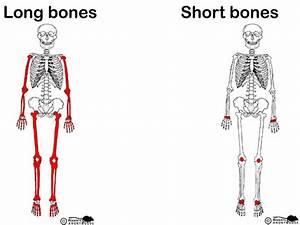 Gallery  All Short Bones In The Human Body