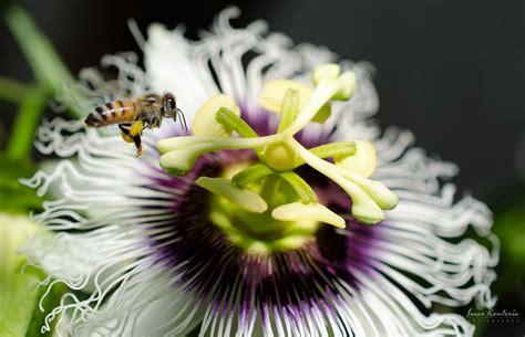 Flor de maracuyá | Plants