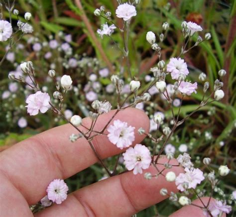 filosofi  makna bunga baby breath bibitbungacom
