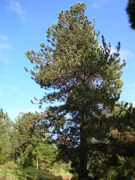File:Starr 041113-0763 Pinus caribaea var. hondurensis.jpg ...