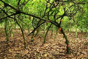 Baum Mit Langen Schoten : vermessung der ersten kakao plantagen quallytropisch ~ Lizthompson.info Haus und Dekorationen