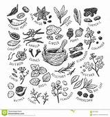Spices Herbs Vector Types Seeds Illustration Culinary Leaves Flowers Drawn Hand Coriander sketch template