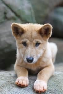 Australian Dingo Pups