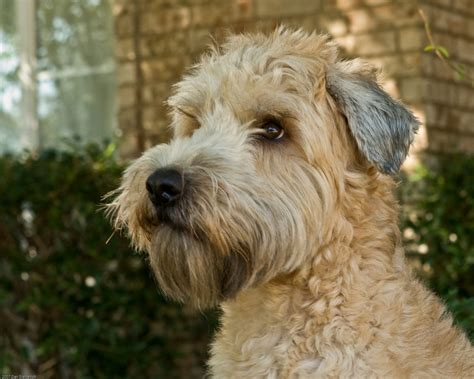 wheaten terrier mix shedding soft coated wheaten terrier desiderio