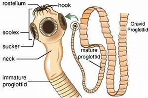 Tapeworm In Humans