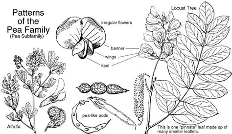 Anacardiaceae Diagram Of The Flower Floral by Fabaceae Or Leguminosae Pea