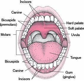 Biology of the Mouth - Mouth and Dental Disorders - Merck ...
