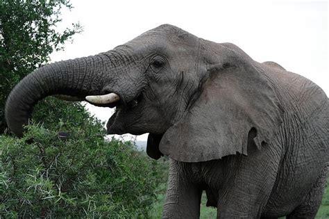 Āfrikas savannas zilonis - Spoki