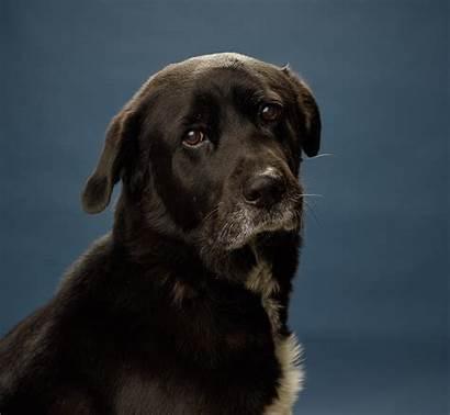 Dog Afador Breed Mixed Breeds Characteristics Annoying