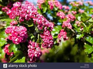 Rosa Blüten Baum : bloosoming rosa bl ten der wei dorn baum stockfoto bild 93424063 alamy ~ Yasmunasinghe.com Haus und Dekorationen