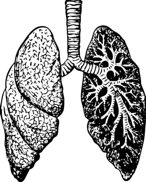 lungs  vector    vector  commercial