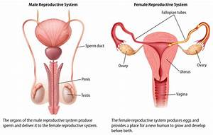 The Reproductive System Ellie Rippel